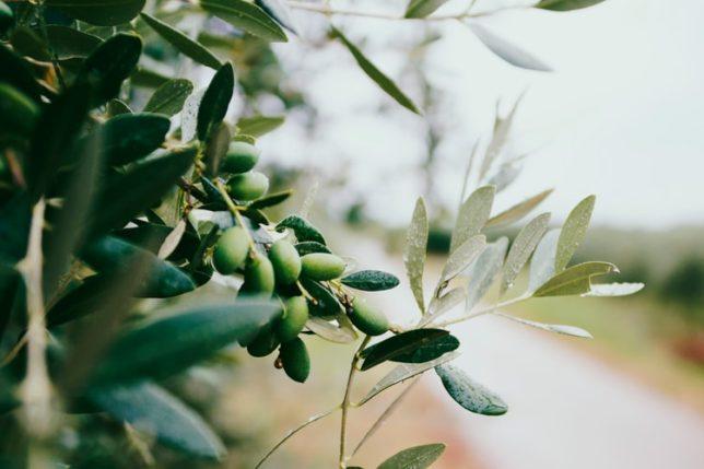 オリーブの木の写真